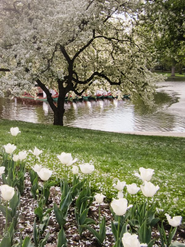 Morning walks – Boston Public Garden