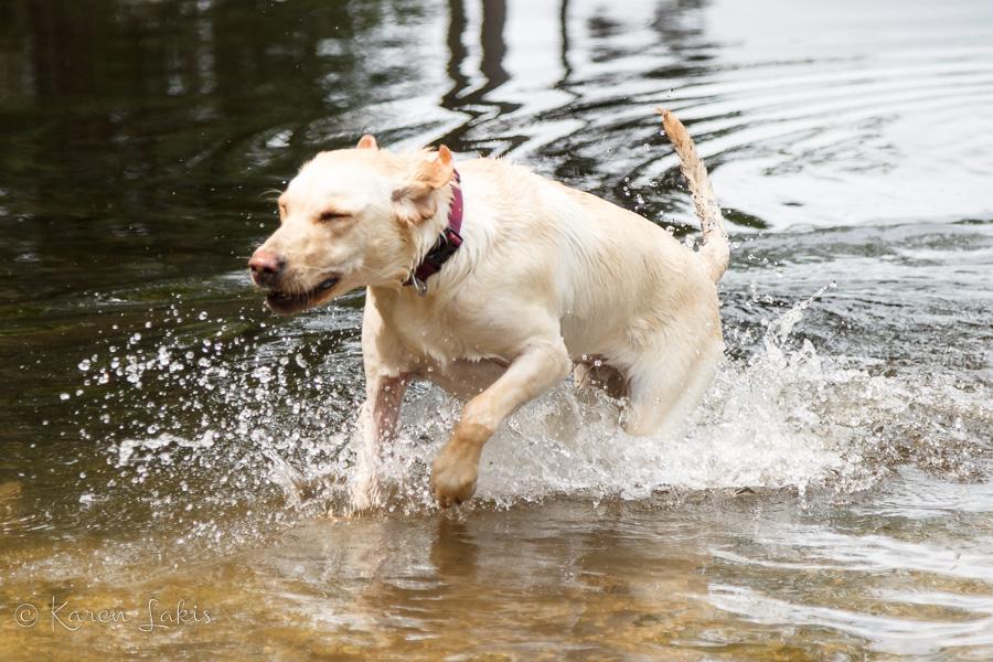 Chessie swimming