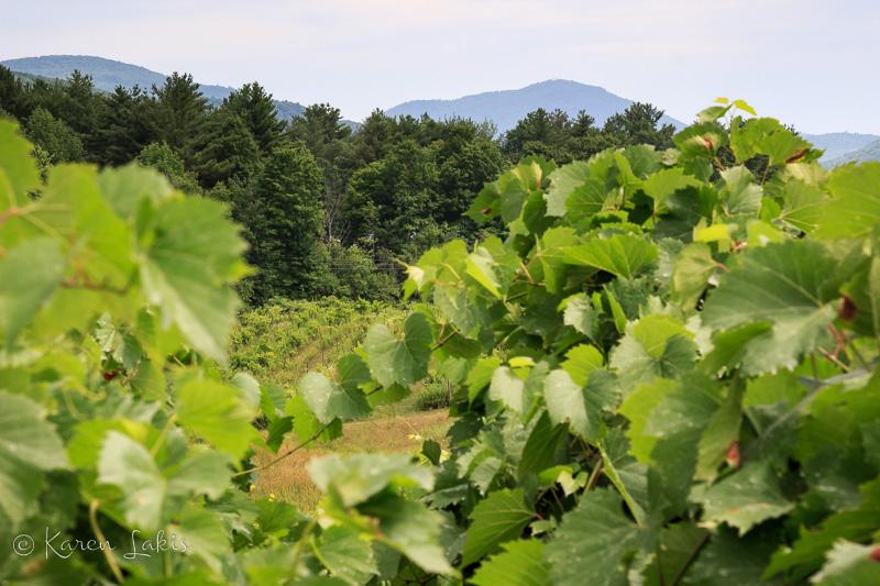 Vermont vineyard