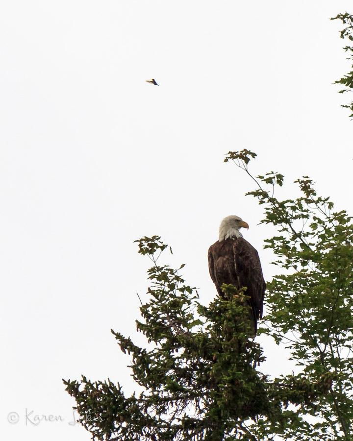 bald eagle and hummingbird