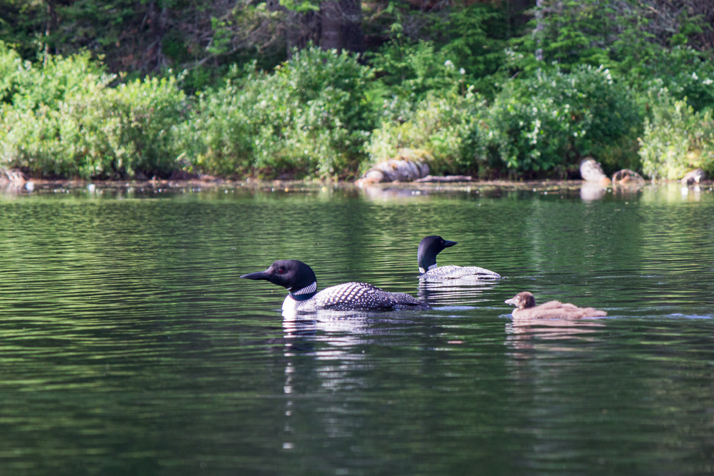 Loons on Lowell Lake
