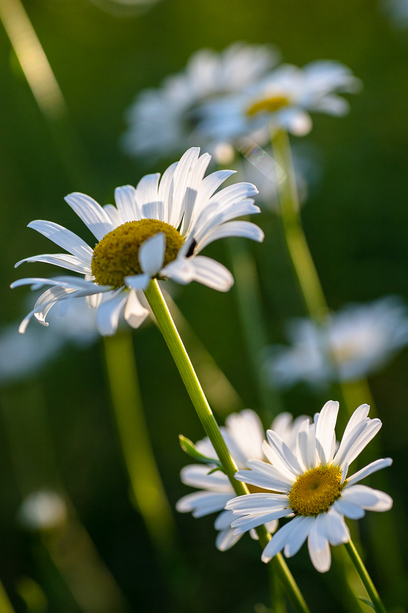 daisies in the early sun